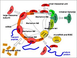 Учёные решили десятилетнюю загадку, связанную с микроРНК